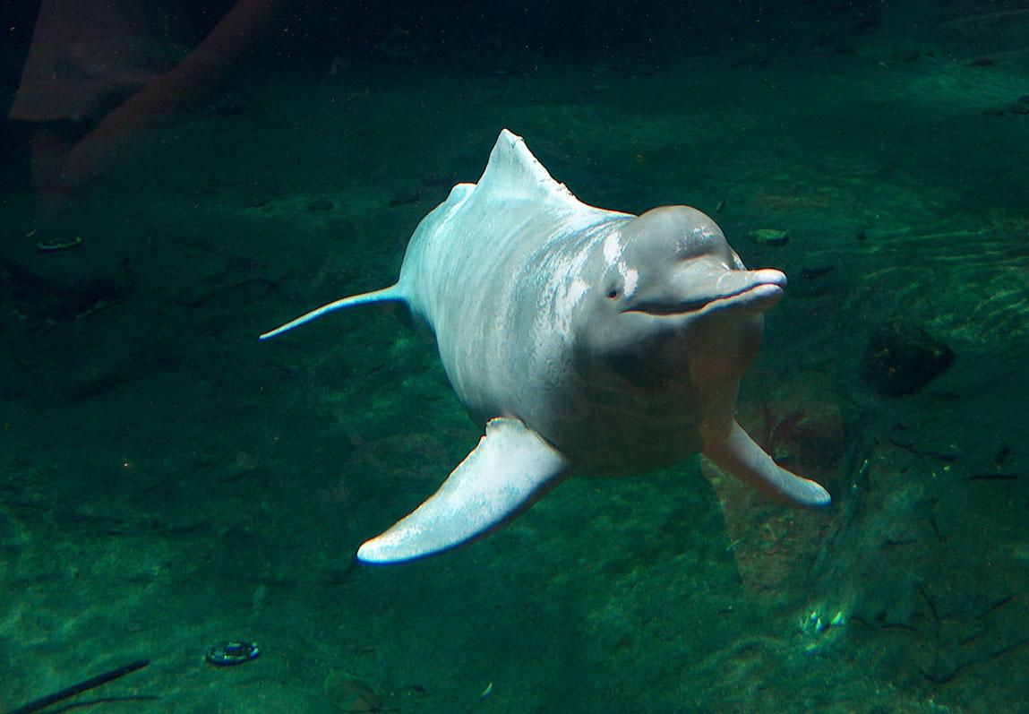 Brasil, Colombia, Ecuador y Perú llevarse para conservar los delfines